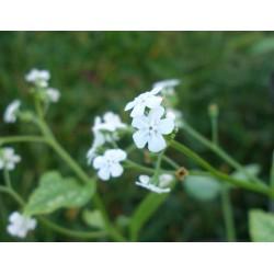 Brunnera macrophylla 'Mr Morse'