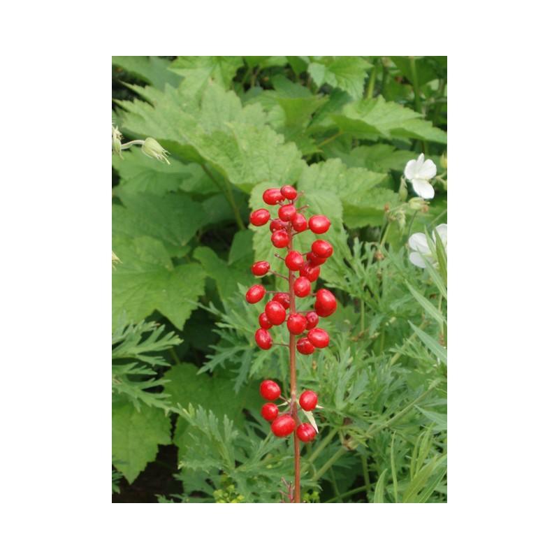 Actaea rubra cimicifuge achat vente en ligne plantes vivaces for Achat plantes jardin en ligne
