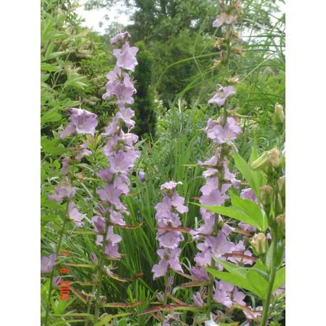 Campanula persicifolia subsp. sessiliflora 'Hidcote Amethyst'