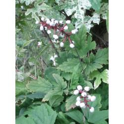 Actaea spicata var. alba