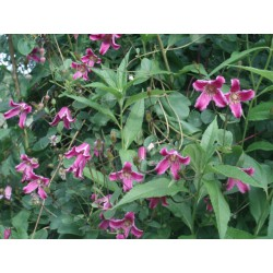 Clematis texensis 'Etoile Rose'