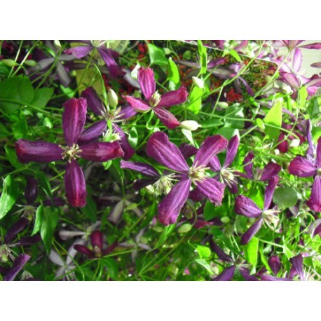 Clematis 'Sweet Summer love' ®
