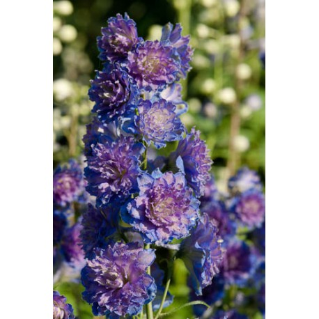 Delphinium elatum 'Highlanders Sweet sensation'