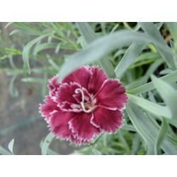 Dianthus 'Camilla'