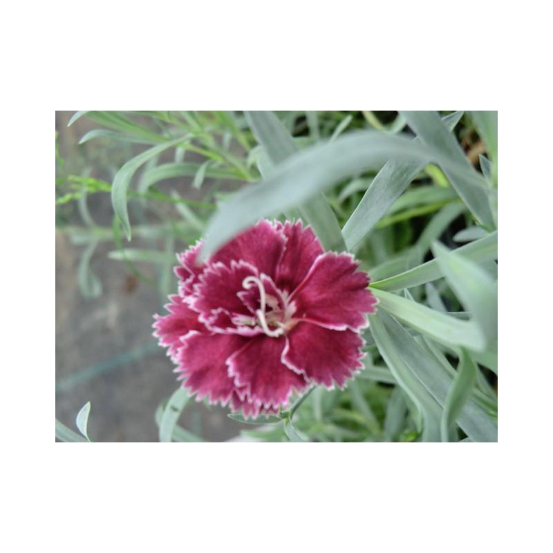dianthus 39 camilla 39 oeillet vivace fleurs rouges achat vente en ligne. Black Bedroom Furniture Sets. Home Design Ideas