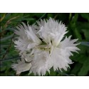 Dianthus 'Her Majesty'