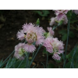 Dianthus 'her majesty rose'