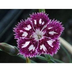 Dianthus 'Nancy Lindsay'