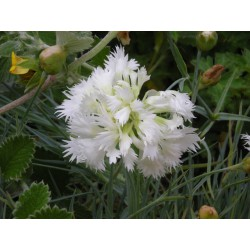 Dianthus 'White Ladies'