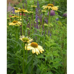 Echinacea 'Summer Passion'