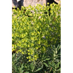 Euphorbia characias ssp wulfenii