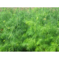 Foeniculum vulgare