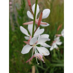 Gaura lindheimeri