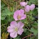 Geranium cinereum 'Alice'